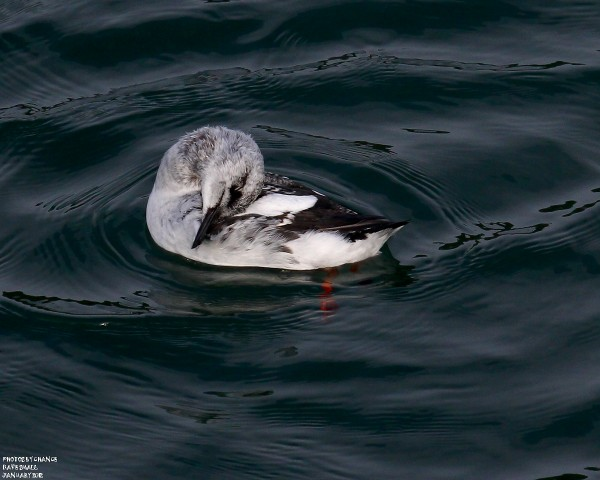 A black guillemot at Northeast Harbor.
