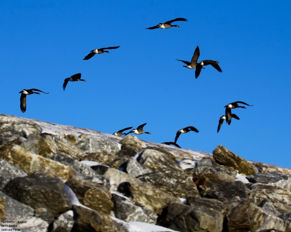 Canada geese in flight over the Rockland breakwater.