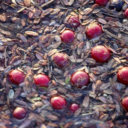 Cranberry growers expect good crop