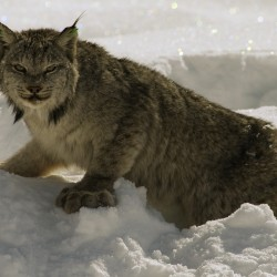 Crawling with wildcats: Maine lynx population booming