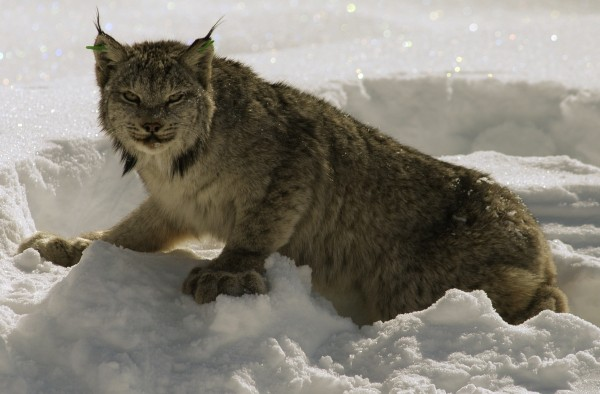 A Canada lynx surveys its surroundigns in March 2004 while slowly regaining its coordination after research biologists administered a drug to counteract the effects of anesthetizing the animal in the northern Maine wilderness.