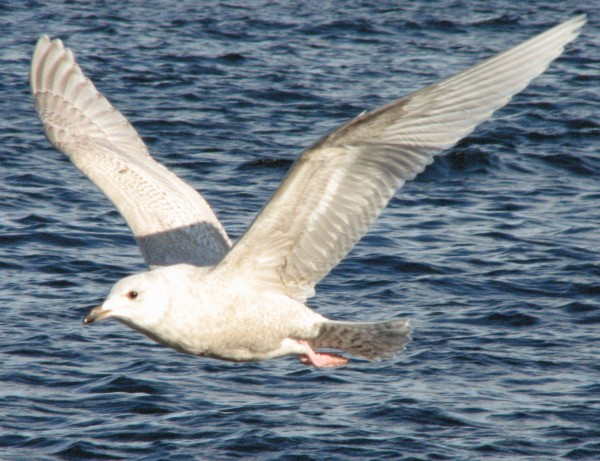 An Iceland gull soars over the Atlantic during a recent birding excursion to Mount Desert Rock.