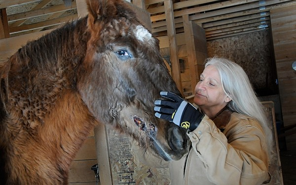 At her farm in Old Town, Andrea Mietkiewicz checks up on Coach, her 28-year-old  Percheron-Appaloosa cross gelding who she suspects was recently shot by someone with a BB gun.