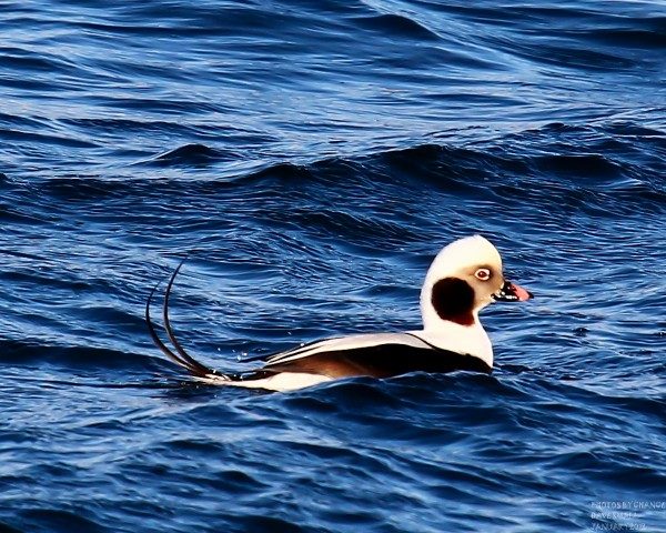 A long-tailed duck bobs on the water.