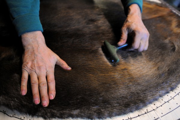 Bob Martin of Dedham combs a beaver pelt after removing it from the board he uses to stretch them. They are valued based on their size and have to be prepared by the trapper. He sells the animal pelts and gives the carcases to a friend.