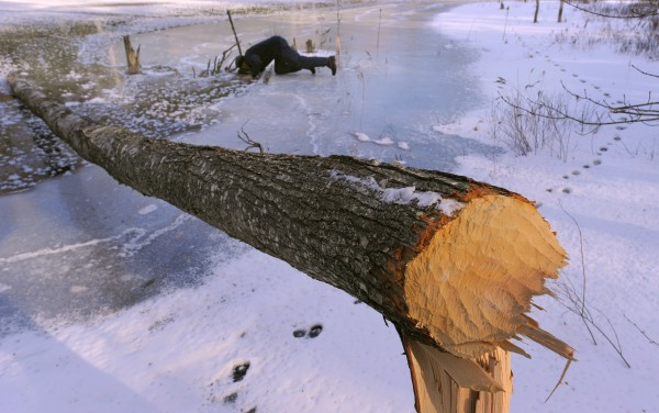 &quotSometimes when the ice is clear enough I can just check on the traps by looking at them instead of having to chip a hole,&quot Martin said as he looked over his traps in a marshy area in Dedham. In the foreground is one of several oak trees that was gnawed by beavers.
