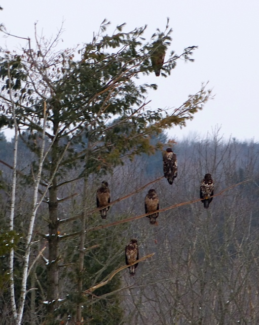 Eagles are spotted in Warren during the Georges River Land Trust's fourth annual Eagle Watch on Saturday, Jan. 21, 2012.
