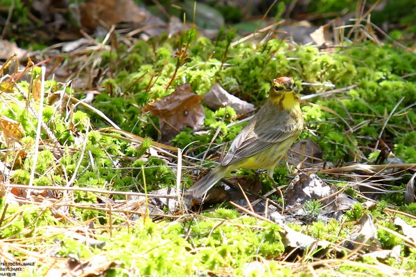 A palm warbler from last spring may brighten up a chilly day.