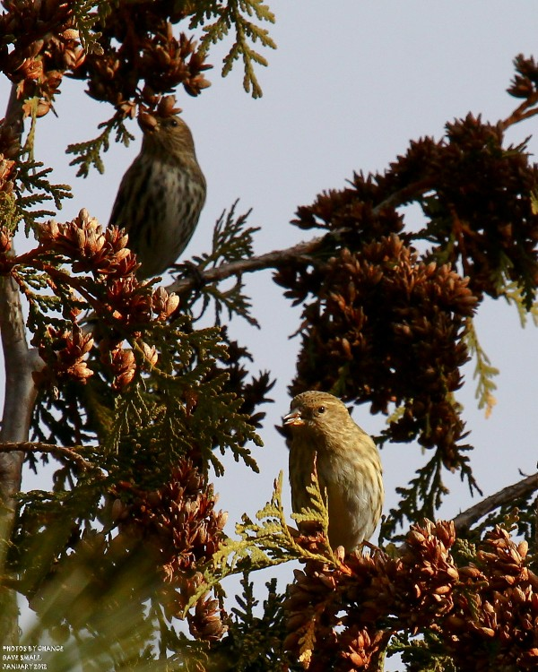 Pine siskins perch in a tree.