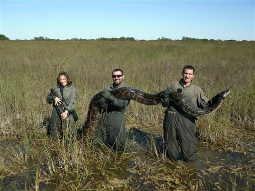 In this November 14, 2009 photo provided by the University of Florida, University of Florida researchers hold a 162-pound Burmese python captured in Everglades National Park, Fla. Therese Walters, left, Alex Wolf and Michael R. Rochford, right, are holding the 15-foot snake shortly after the python ate a six-foot American alligator. The National Academy of Science report released Monday, Jan. 30, 2012, indicates that the proliferation of pythons coincides with a sharp decrease of mammals in the park.