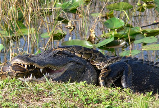 In this 2009 photo provided by the National Park Service, a Burmese python is wrapped around an American alligator in Everglades National Park, Fla. The National Academy of Science report released Monday, Jan. 30, 2012, indicates that the proliferation of pythons coincides with a sharp decrease of mammals in the park.