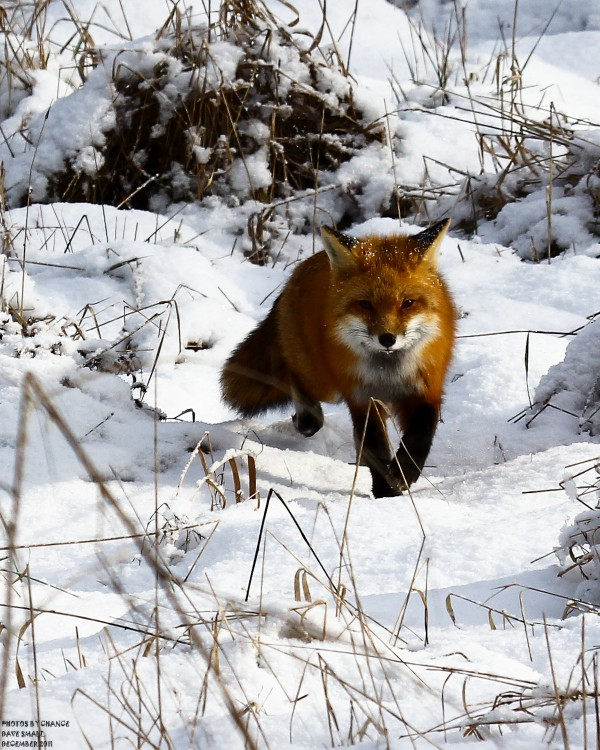 A red fox on the move.