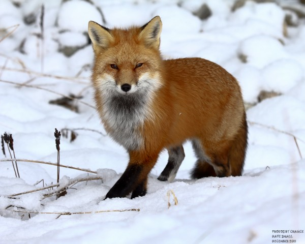 Red fox, on the prowl.