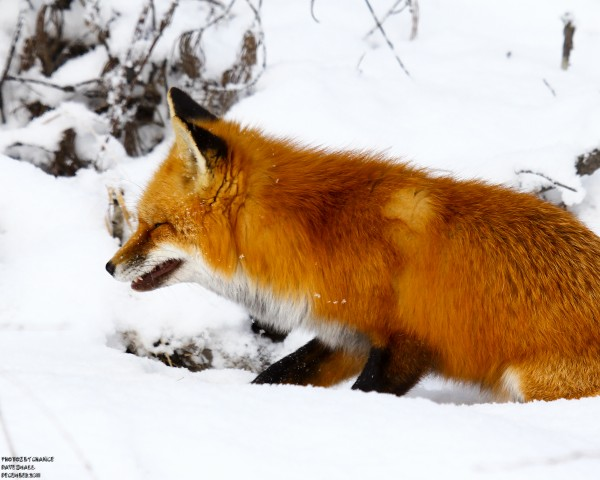 A red fox, in full profile.