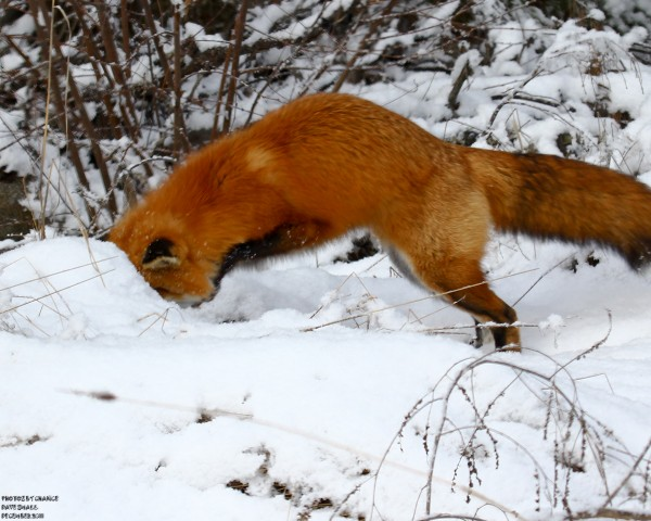 A red fox ducks into the snow in search of a meal.