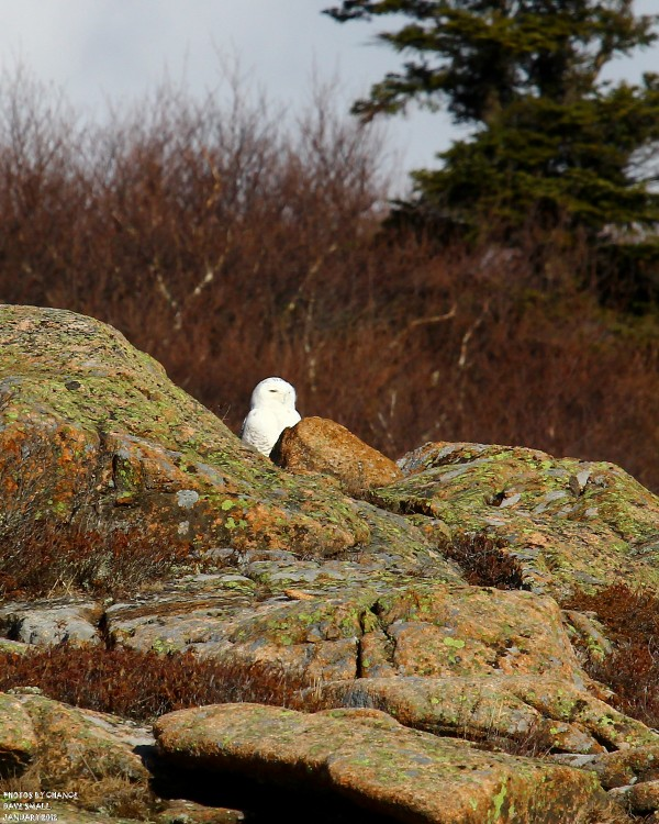 No doubt about it: The snowy owl has been spotted.