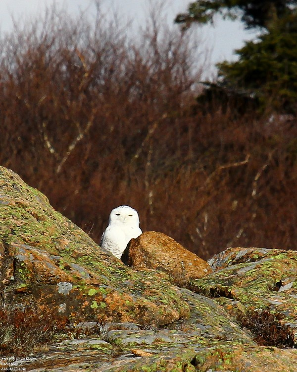 A snowy owl, sheltered by rocks.