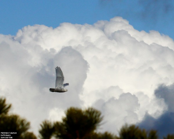 The snowy owl takes wing.