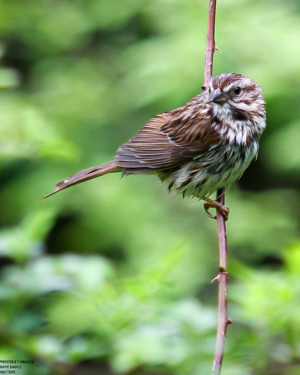 A song sparrow after a bath.