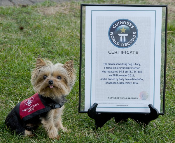 This Jan. 7, 2012 photo provided by Howie Williams shows Lucy, with her Guinness Book record certificate for smallest working dog in the world, in Smithville, N.J.