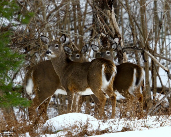 Three bucks huddle up at Sand Point.