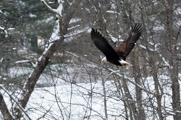 An eagle is spotted in Warren during the Georges River Land Trust's fourth annual Eagle Watch on Saturday, Jan. 21, 2012.