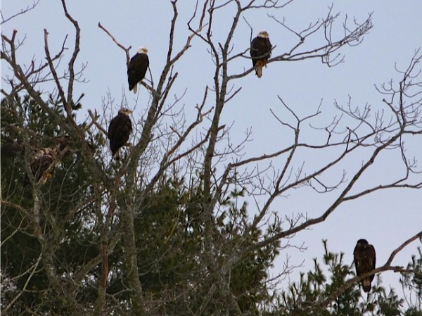 A group of eagles rests in a tree near the site of an eagle watch hosted in Warren on Saturday, Jan. 21, 2012, by the Georges River Land Trust.