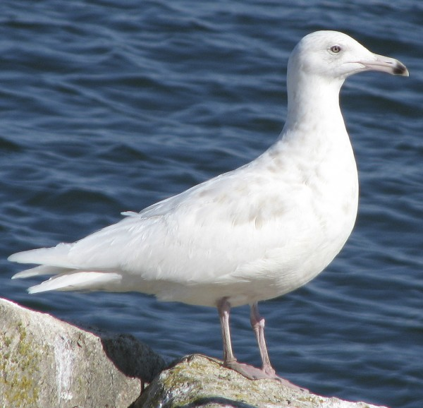 Glaucous gulls come down from extreme northern areas. Neither rare nor common, they're easy to pick out of a crowd because they have no black in the wingtips. They're noticeably larger than a herring gull and the bill is large and heavy.