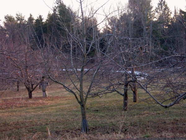 Apple trees and a winter apparition weathering the bare part of January in Unity.