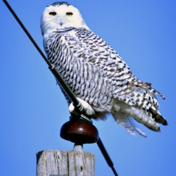 Snowy owl invasion good for birders, bad for birds