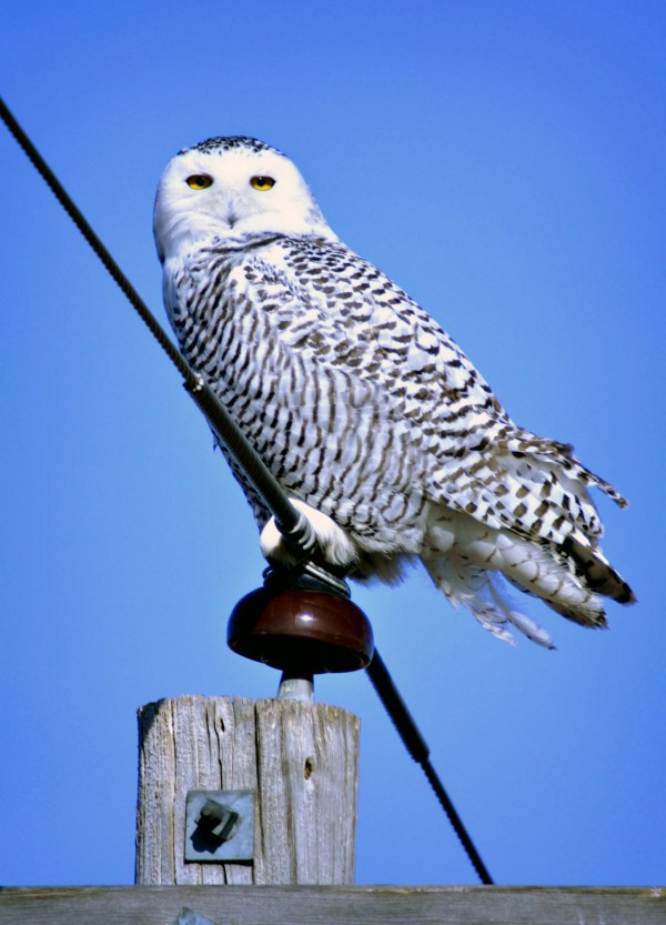 A snowy owl clings to a powerline, Wednesday, Jan. 4, 2012 near Lake Andes, S.D. The Arctic creatures have been seen from coast to coast more frequently this winter and have reached further south than in past years.