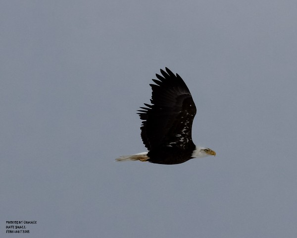 An American bald eagle soars over Hermon Pond