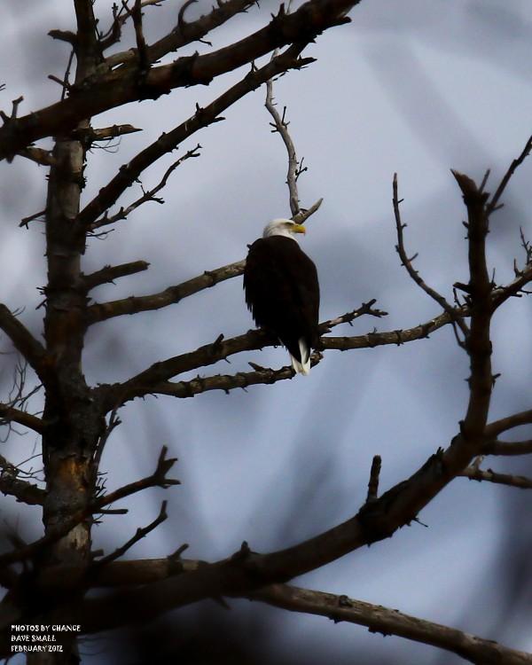 American bald eagle on Farm Road in Orono.