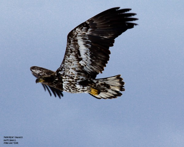A juvenile bald eagle in flight.