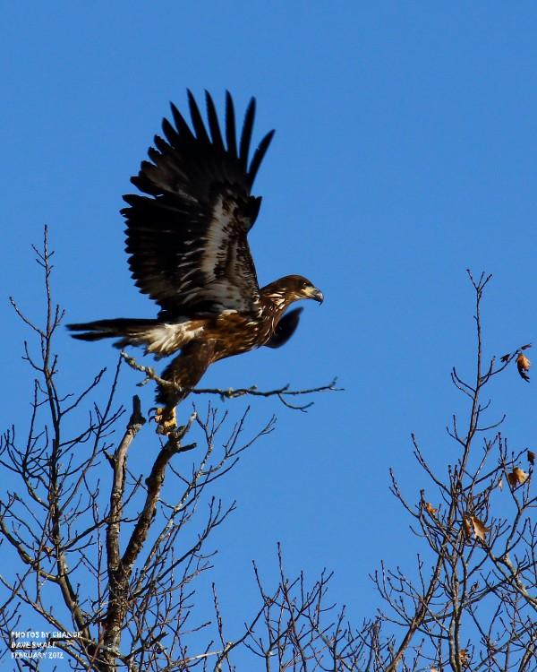 A bald eagle takes wing.