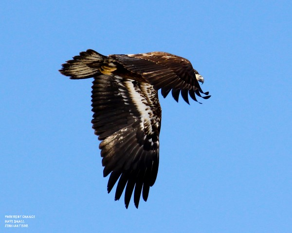 A juvenile bald eagle searches for its next meal.