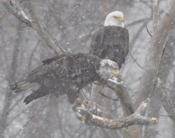 Two bald eagles perch above the Kenduskeag Stream during the first heavy snowfall of the season in November 2011.
