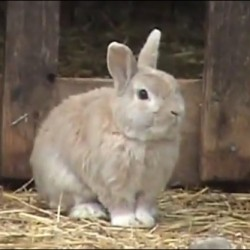 Sheep herding Swedish bunny becomes online hit