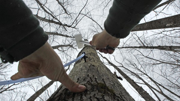 In this Feb. 14, 2012 photo, Ben Fisk hammers a tap and collection tube into the trunk of a maple tree at a timber stand in Newbury, N.H.