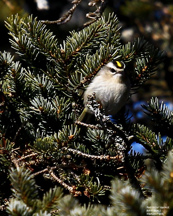 A golden-crowned kinglet perches in a tree.
