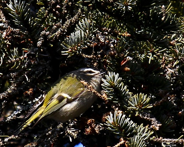 A tiny golden-crowned kinglet.