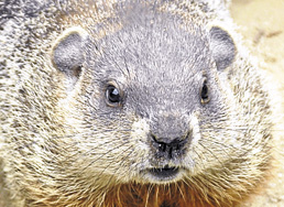 &quotOver-rated.&quot — Gilbert Groundhog, Bangor