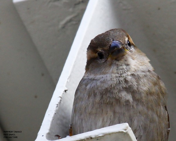 A house sparrow plays peek-a-boo.