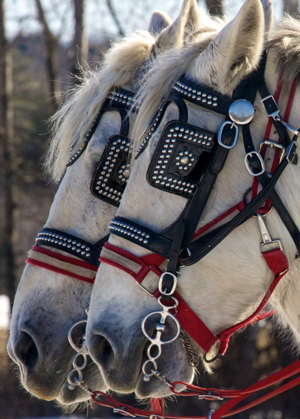 A pair of gray percheron horses from Mud Luck Farm in Minot take a breather between circuits &quotover the fields and through the woods&quot on Sunday, Feb. 19, 2012 at the 19th annual World's Greatest Sleigh Ride in Lisbon.