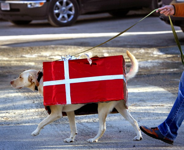 A yellow Labrador retriever named Gooch wears a box decorated as a holiday present while taking part in the dog parade during the Christmas Prelude in Kennebunkport on Dec. 11.