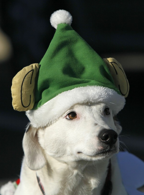 A participant in a dog parade wears a holiday hat during the Christmas Prelude in Kennebunkport on Dec. 11.