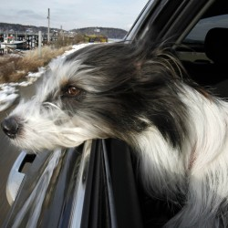 Marketta, a mix-breed, takes in the fresh salt air and the scenery from the back seat of her owner's car while traveling through Phippsburg. The dog and her owner, Rebecca Cooper, of Holliston, Mass., visit Maine weekly to participate in an agility class in Portland.