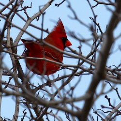 A cardinal at UMaine.