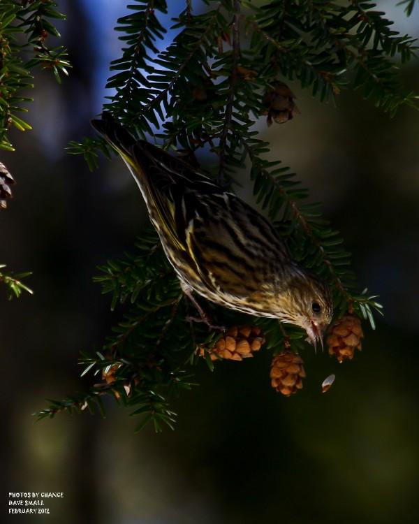 A pine siskin.