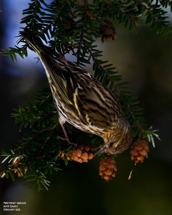 A pine siskin reaches for food.